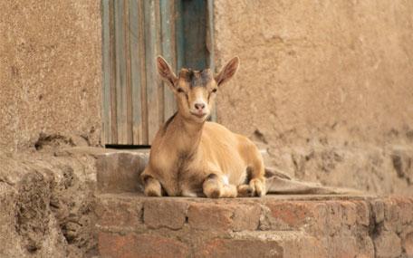 Skänk en get, Nepal Gåvobevis